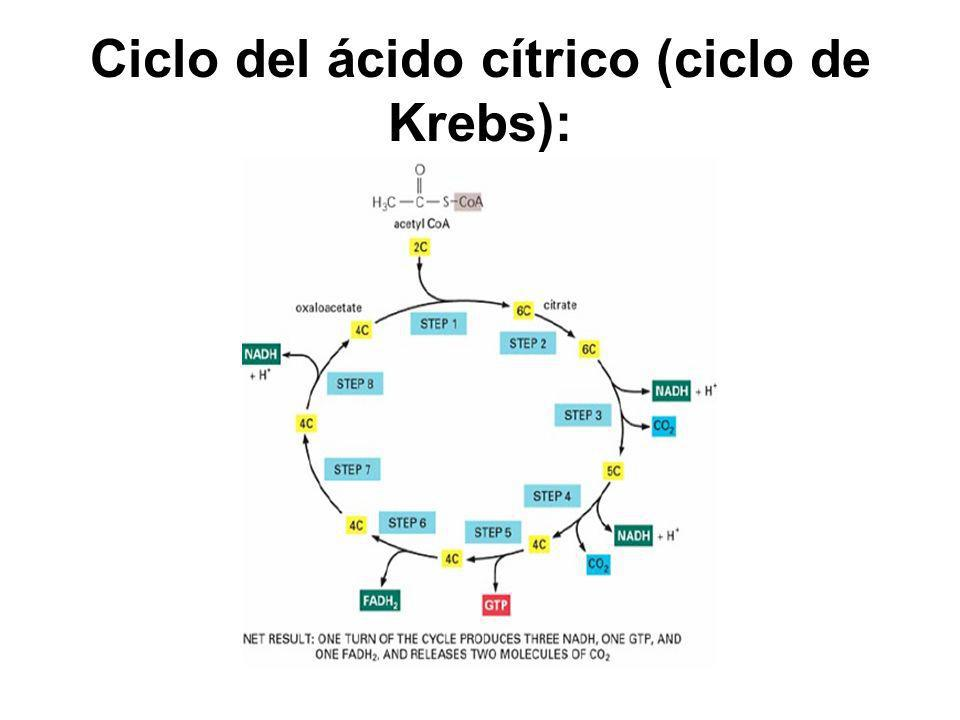 Ciclo del ácido cítrico (ciclo de Krebs):