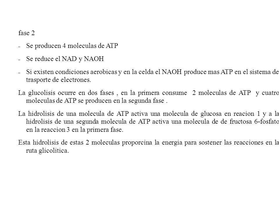 fase 2 – Se producen 4 moleculas de ATP – Se reduce el NAD y NAOH – Si existen condiciones aerobicas y en la celda el NAOH produce mas ATP en el siste