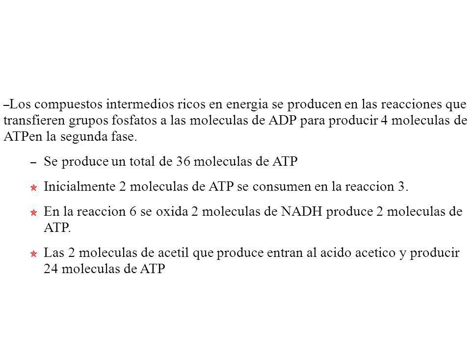 – Los compuestos intermedios ricos en energia se producen en las reacciones que transfieren grupos fosfatos a las moleculas de ADP para producir 4 mol