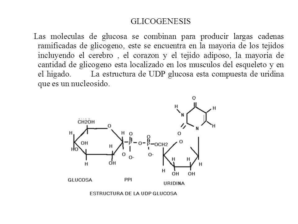 GLICOGENESIS Las moleculas de glucosa se combinan para producir largas cadenas ramificadas de glicogeno, este se encuentra en la mayoria de los tejido