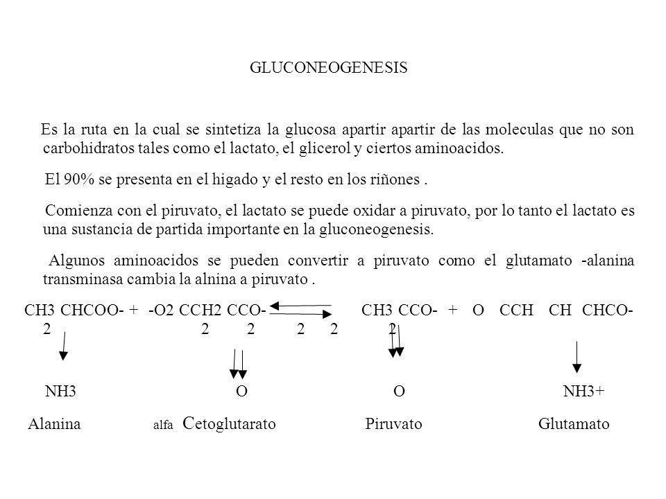 GLUCONEOGENESIS Es la ruta en la cual se sintetiza la glucosa apartir apartir de las moleculas que no son carbohidratos tales como el lactato, el glic