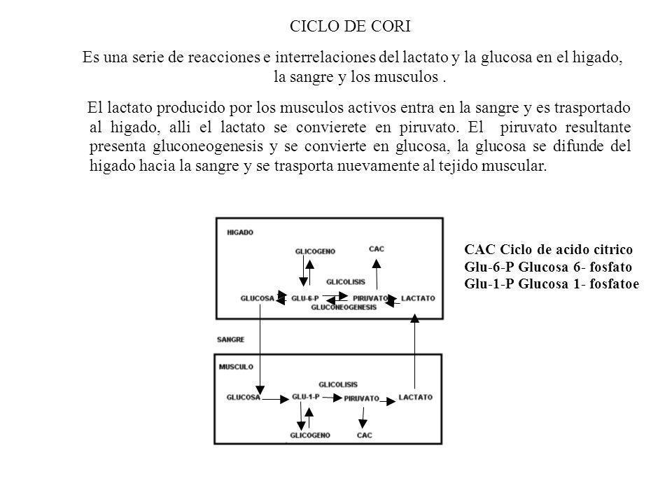 CICLO DE CORI Es una serie de reacciones e interrelaciones del lactato y la glucosa en el higado, la sangre y los musculos. El lactato producido por l