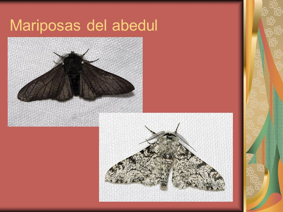 La mariposa del abedul.