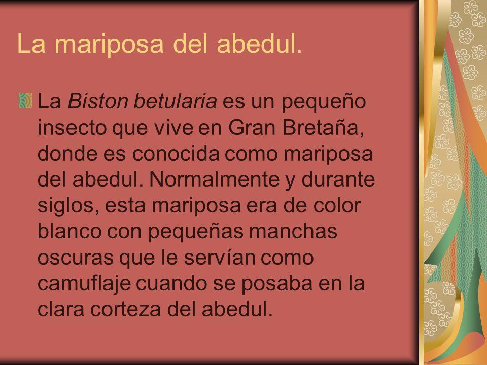 La mariposa del abedul. La Biston betularia es un pequeño insecto que vive en Gran Bretaña, donde es conocida como mariposa del abedul. Normalmente y