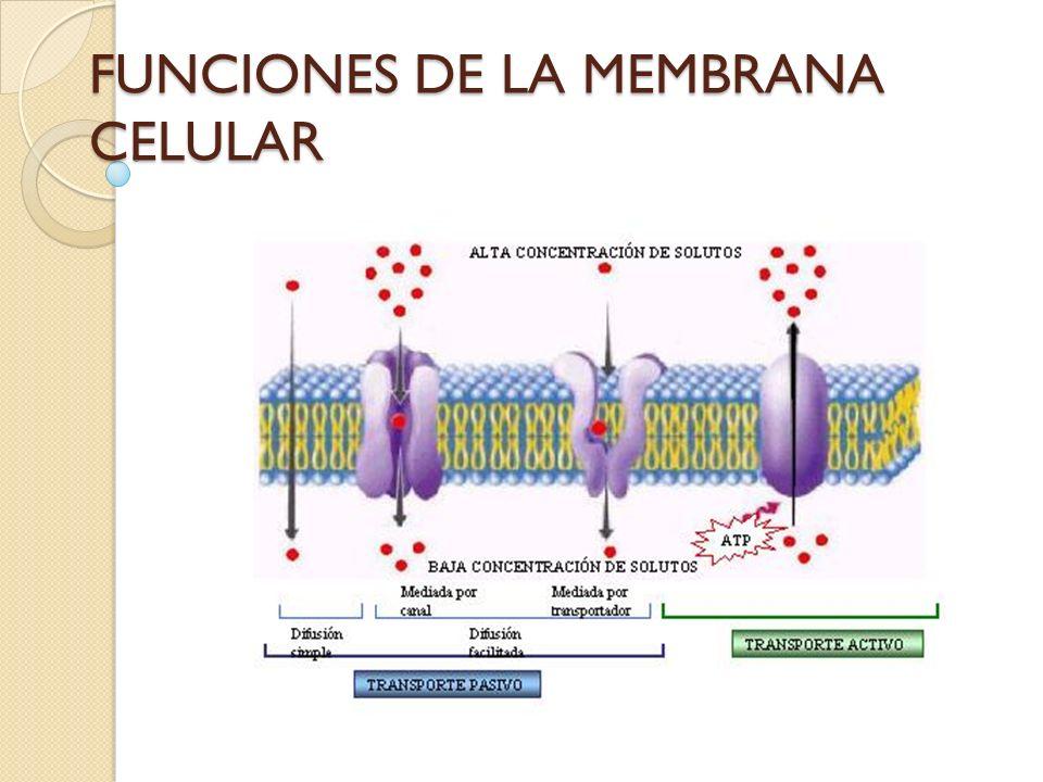 Barrera semipermeable, en ella se llevan a cabo funciones de absorción y excresión.