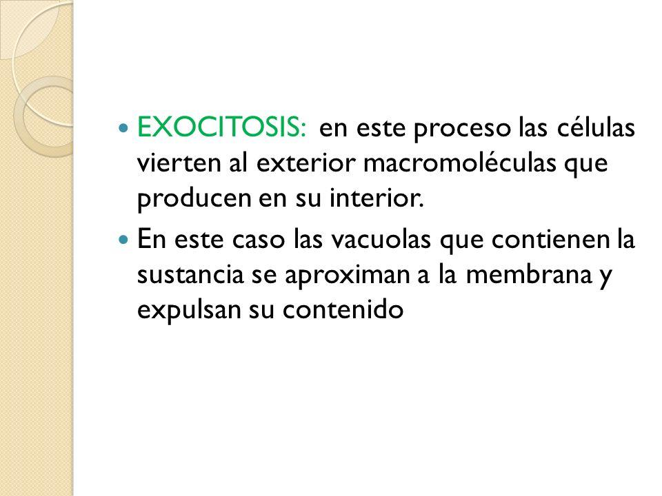 EXOCITOSIS: en este proceso las células vierten al exterior macromoléculas que producen en su interior. En este caso las vacuolas que contienen la sus