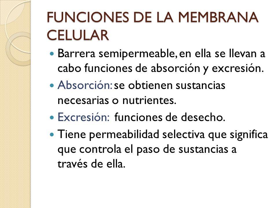 Barrera semipermeable, en ella se llevan a cabo funciones de absorción y excresión. Absorción: se obtienen sustancias necesarias o nutrientes. Excresi