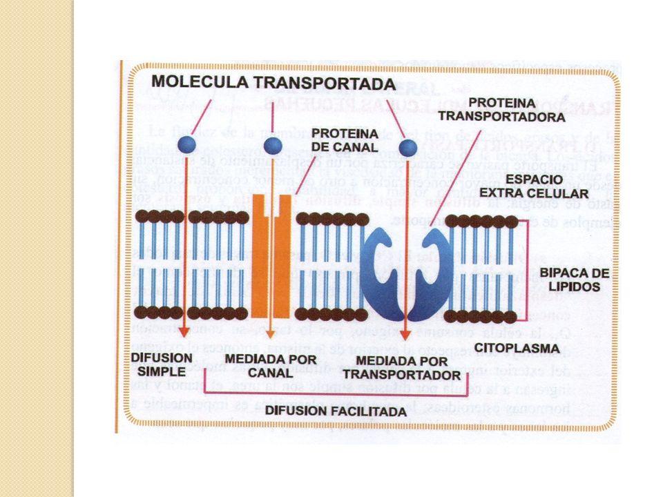 Efectos de la ósmosis sobre las células Cuando las células se sumerjen en una solución salina isotónica, o sea con la misma concentración que el interior de la célula, la célula permanece normal.