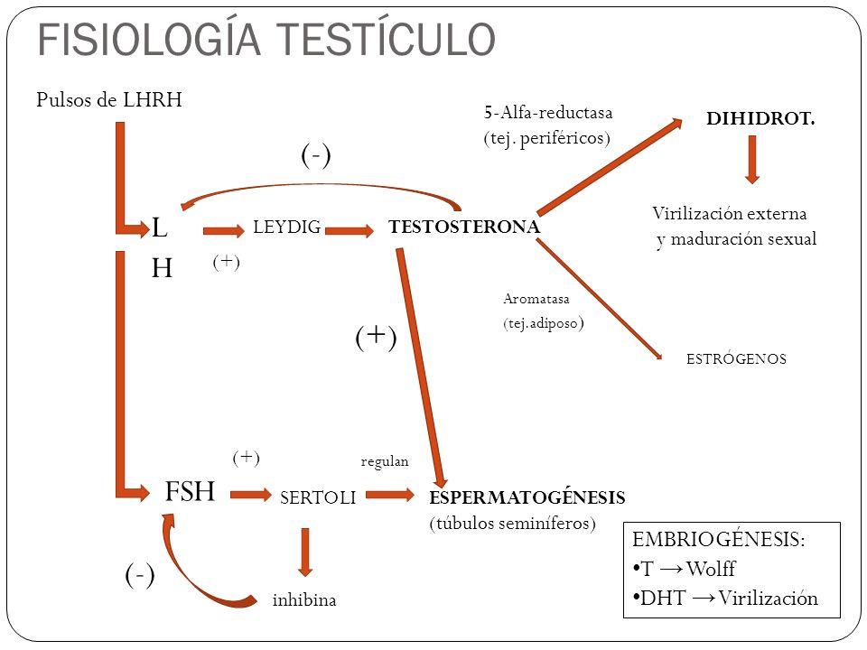 FISIOLOGÍA TESTÍCULO Pulsos de LHRH LHLH LEYDIGTESTOSTERONA (-) FSH SERTOLIESPERMATOGÉNESIS (túbulos seminíferos) regulan (+) inhibina (-) (+) 5-Alfa-