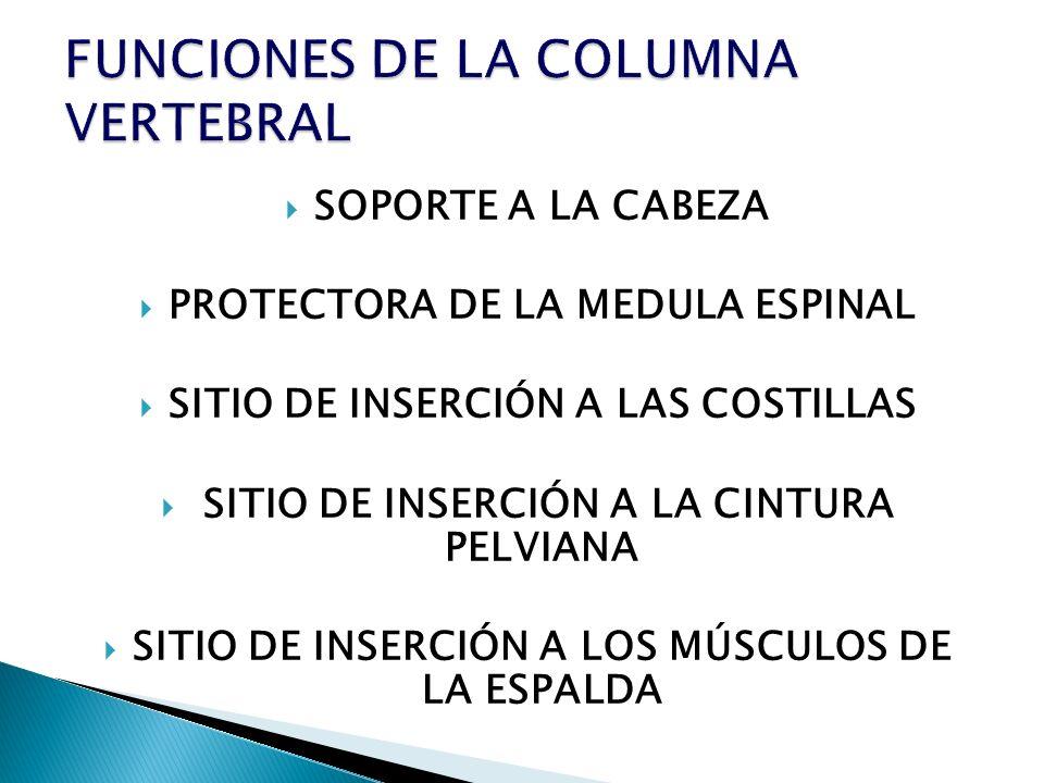 SOPORTE A LA CABEZA PROTECTORA DE LA MEDULA ESPINAL SITIO DE INSERCIÓN A LAS COSTILLAS SITIO DE INSERCIÓN A LA CINTURA PELVIANA SITIO DE INSERCIÓN A L