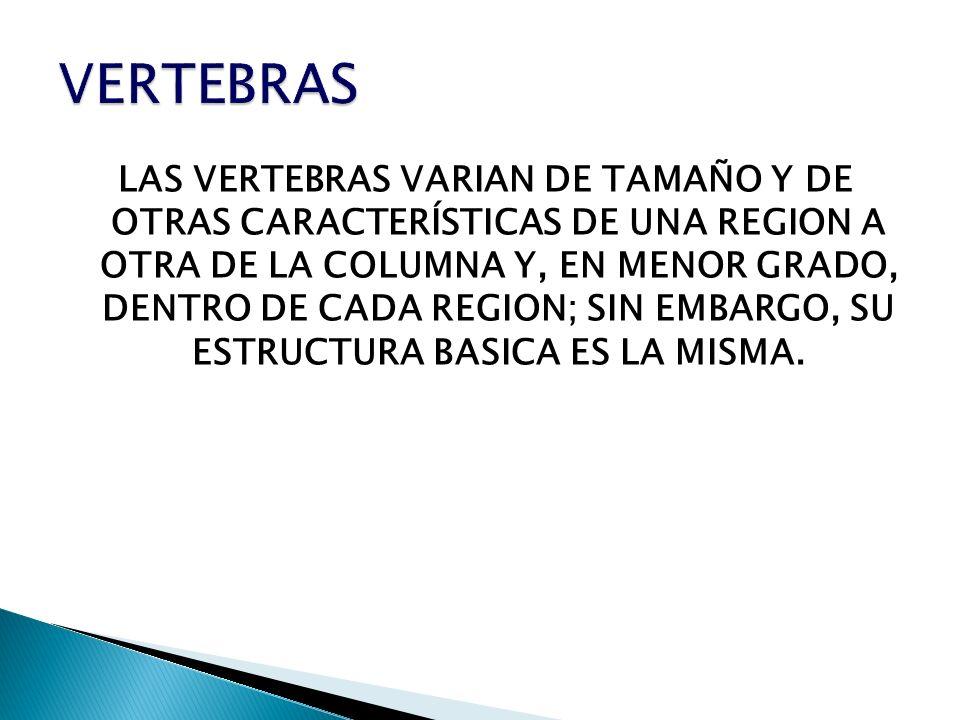 LAS VERTEBRAS VARIAN DE TAMAÑO Y DE OTRAS CARACTERÍSTICAS DE UNA REGION A OTRA DE LA COLUMNA Y, EN MENOR GRADO, DENTRO DE CADA REGION; SIN EMBARGO, SU