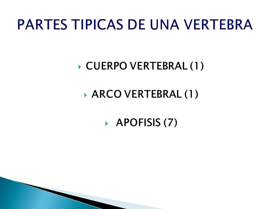 CUERPO VERTEBRAL (1) ARCO VERTEBRAL (1) APOFISIS (7)