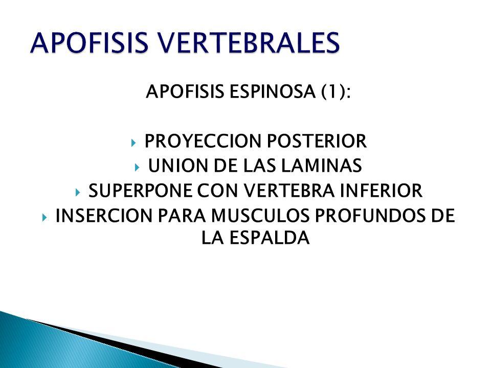 APOFISIS ESPINOSA (1): PROYECCION POSTERIOR UNION DE LAS LAMINAS SUPERPONE CON VERTEBRA INFERIOR INSERCION PARA MUSCULOS PROFUNDOS DE LA ESPALDA