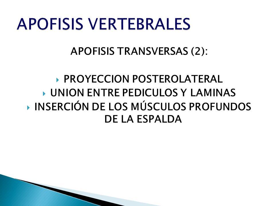 APOFISIS TRANSVERSAS (2): PROYECCION POSTEROLATERAL UNION ENTRE PEDICULOS Y LAMINAS INSERCIÓN DE LOS MÚSCULOS PROFUNDOS DE LA ESPALDA