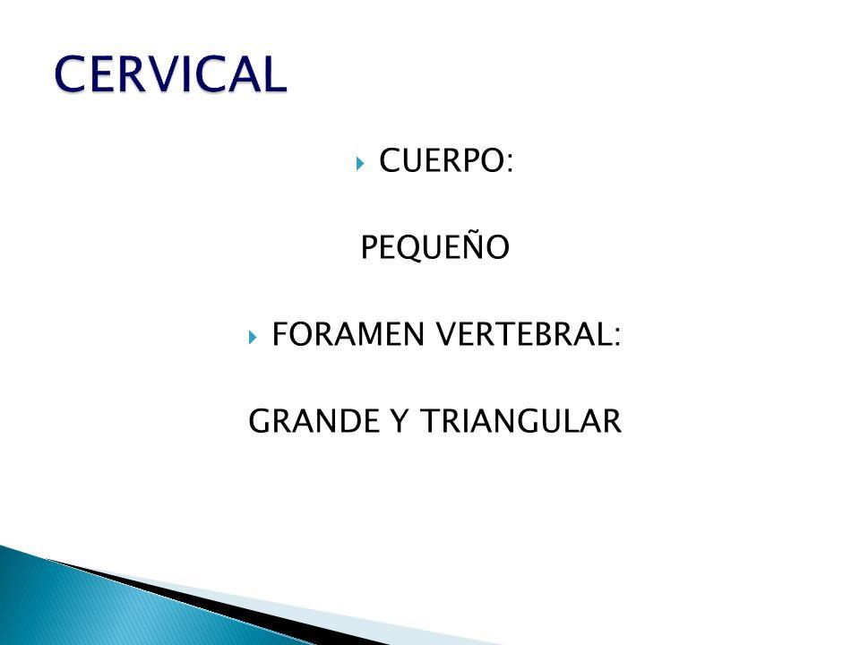 CUERPO: PEQUEÑO FORAMEN VERTEBRAL: GRANDE Y TRIANGULAR