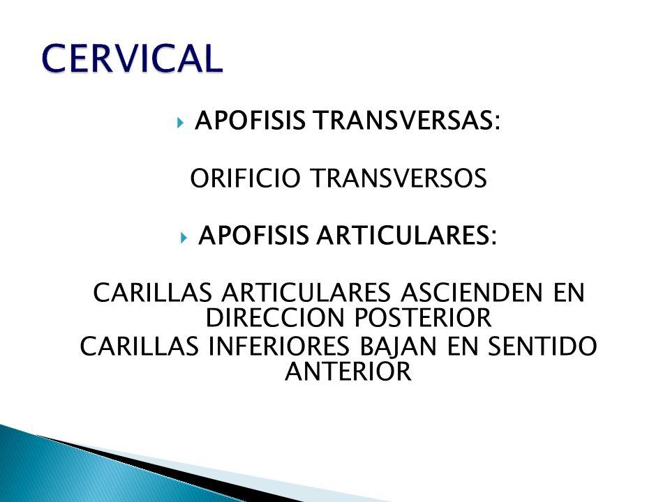 APOFISIS TRANSVERSAS: ORIFICIO TRANSVERSOS APOFISIS ARTICULARES: CARILLAS ARTICULARES ASCIENDEN EN DIRECCION POSTERIOR CARILLAS INFERIORES BAJAN EN SE