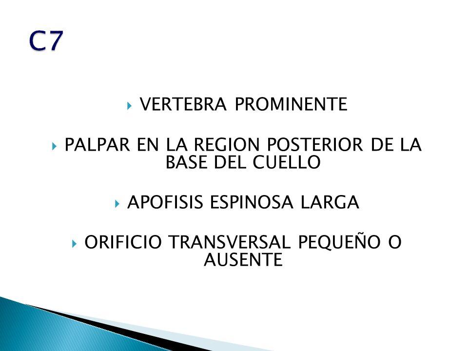 VERTEBRA PROMINENTE PALPAR EN LA REGION POSTERIOR DE LA BASE DEL CUELLO APOFISIS ESPINOSA LARGA ORIFICIO TRANSVERSAL PEQUEÑO O AUSENTE