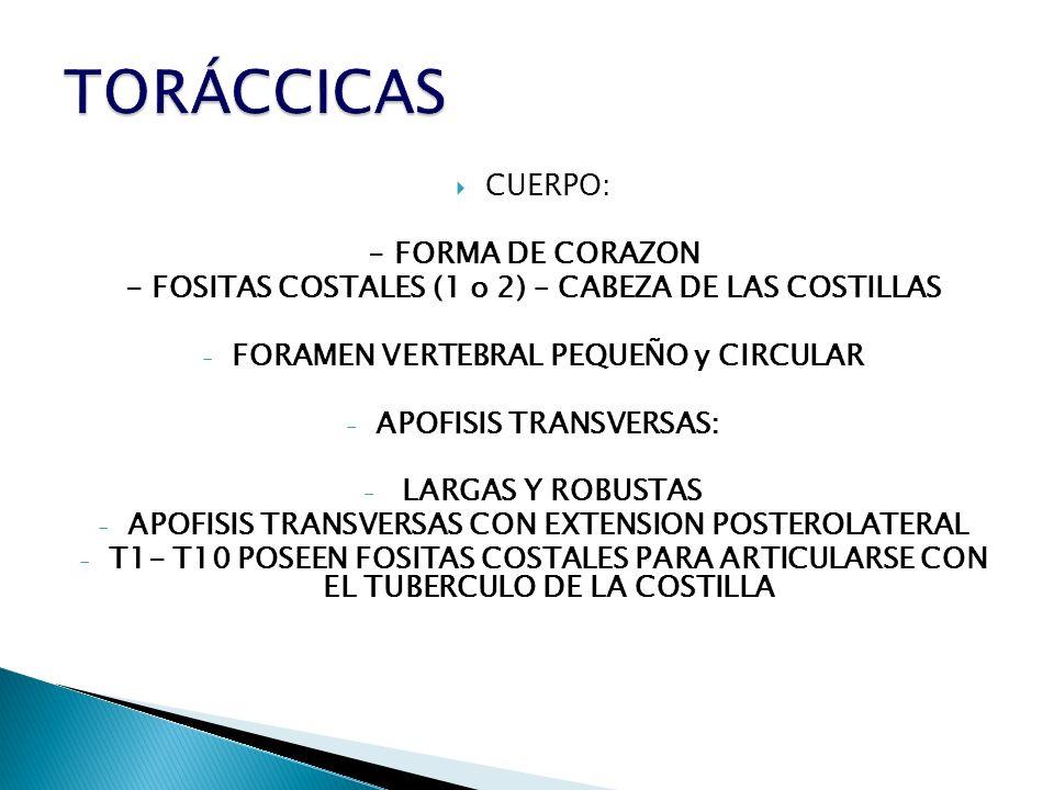 CUERPO: - FORMA DE CORAZON - FOSITAS COSTALES (1 o 2) – CABEZA DE LAS COSTILLAS - FORAMEN VERTEBRAL PEQUEÑO y CIRCULAR - APOFISIS TRANSVERSAS: - LARGA
