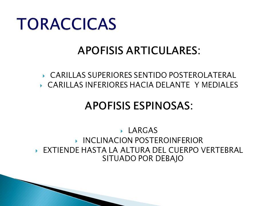 APOFISIS ARTICULARES: CARILLAS SUPERIORES SENTIDO POSTEROLATERAL CARILLAS INFERIORES HACIA DELANTE Y MEDIALES APOFISIS ESPINOSAS: LARGAS INCLINACION P