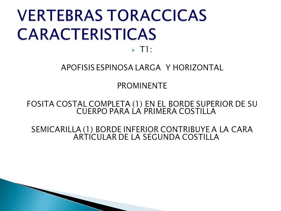 T1: APOFISIS ESPINOSA LARGA Y HORIZONTAL PROMINENTE FOSITA COSTAL COMPLETA (1) EN EL BORDE SUPERIOR DE SU CUERPO PARA LA PRIMERA COSTILLA SEMICARILLA