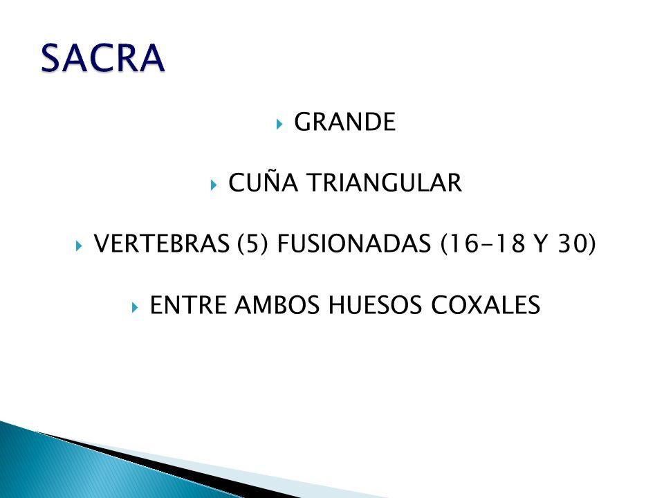 GRANDE CUÑA TRIANGULAR VERTEBRAS (5) FUSIONADAS (16-18 Y 30) ENTRE AMBOS HUESOS COXALES