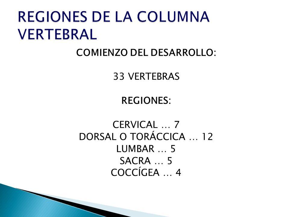 COMIENZO DEL DESARROLLO: 33 VERTEBRAS REGIONES: CERVICAL … 7 DORSAL O TORÁCCICA … 12 LUMBAR … 5 SACRA … 5 COCCÍGEA … 4
