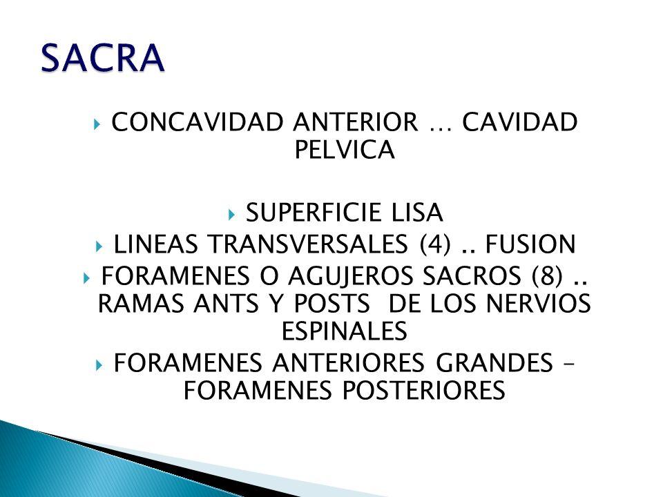 CONCAVIDAD ANTERIOR … CAVIDAD PELVICA SUPERFICIE LISA LINEAS TRANSVERSALES (4).. FUSION FORAMENES O AGUJEROS SACROS (8).. RAMAS ANTS Y POSTS DE LOS NE