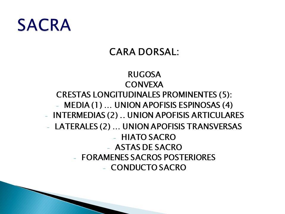 CARA DORSAL: RUGOSA CONVEXA CRESTAS LONGITUDINALES PROMINENTES (5): - MEDIA (1) … UNION APOFISIS ESPINOSAS (4) - INTERMEDIAS (2).. UNION APOFISIS ARTI