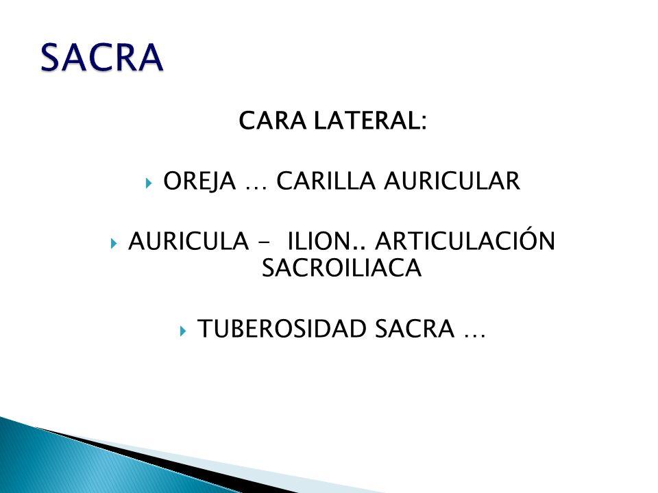 CARA LATERAL: OREJA … CARILLA AURICULAR AURICULA - ILION.. ARTICULACIÓN SACROILIACA TUBEROSIDAD SACRA …