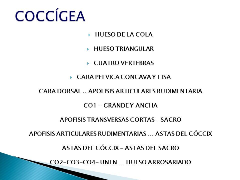 HUESO DE LA COLA HUESO TRIANGULAR CUATRO VERTEBRAS CARA PELVICA CONCAVA Y LISA CARA DORSAL.. APOFISIS ARTICULARES RUDIMENTARIA CO1 - GRANDE Y ANCHA AP