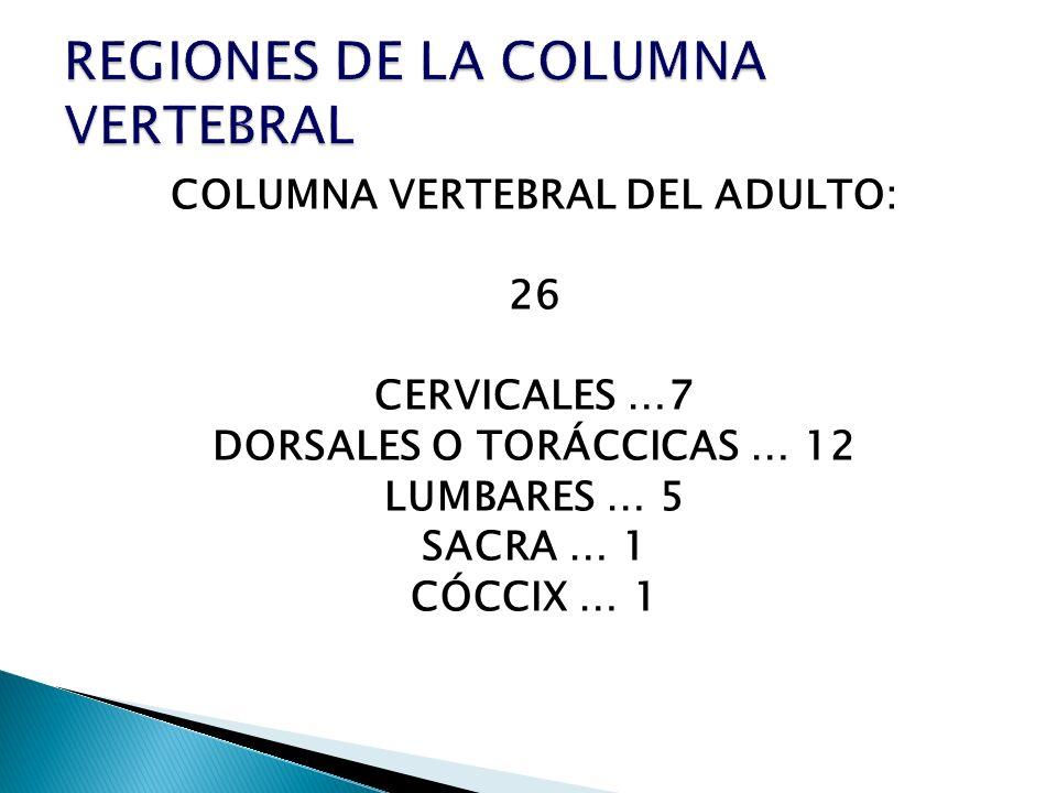 COLUMNA VERTEBRAL DEL ADULTO: 26 CERVICALES …7 DORSALES O TORÁCCICAS … 12 LUMBARES … 5 SACRA … 1 CÓCCIX … 1