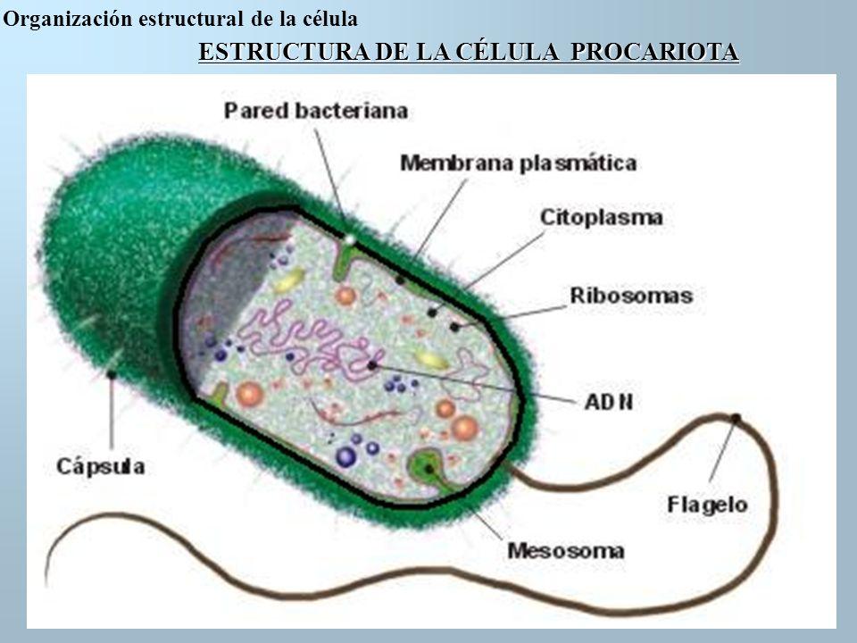ESTRUCTURA DE LA CÉLULA PROCARIOTA Partes de la célula Procariota 1Pared bacteriana 2Membrana Plasmática 3Citoplasma 4Ribosomas 5 ADN 6 Flagelo 7 Mesosoma 8 Capsula Organización estructural de la célula