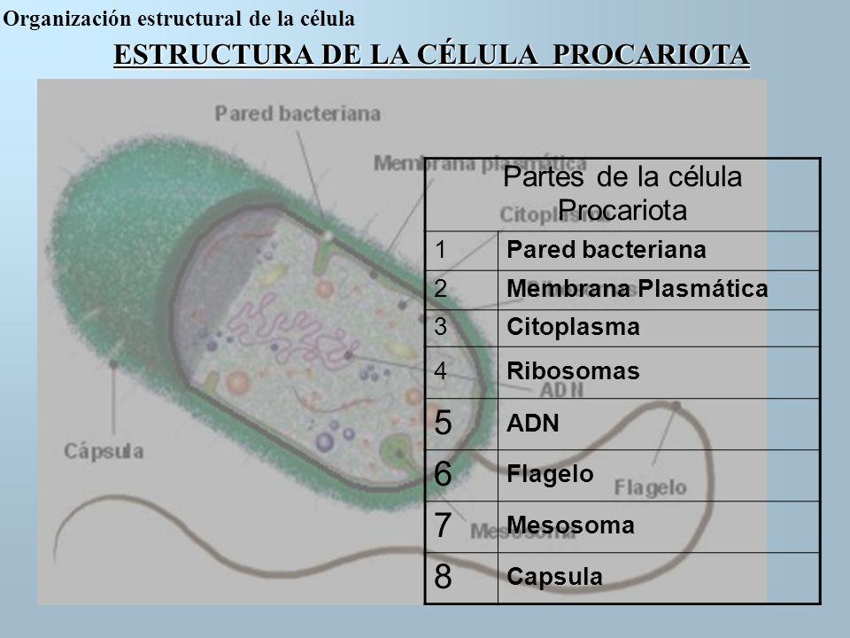 ESTRUCTURA DE LA CÉLULA PROCARIOTA Partes de la célula Procariota 1Pared bacteriana 2Membrana Plasmática 3Citoplasma 4Ribosomas 5 ADN 6 Flagelo 7 Meso