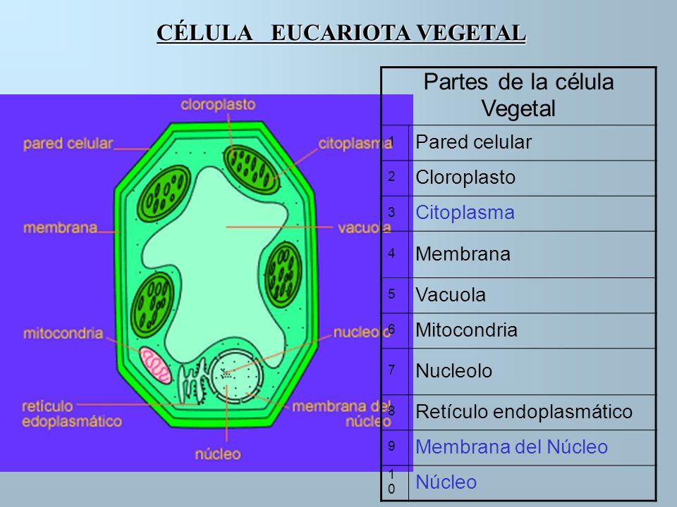CÉLULA EUCARIOTA VEGETAL Partes de la célula Vegetal 1 Pared celular 2 Cloroplasto 3 Citoplasma 4 Membrana 5 Vacuola 6 Mitocondria 7 Nucleolo 8 Retícu