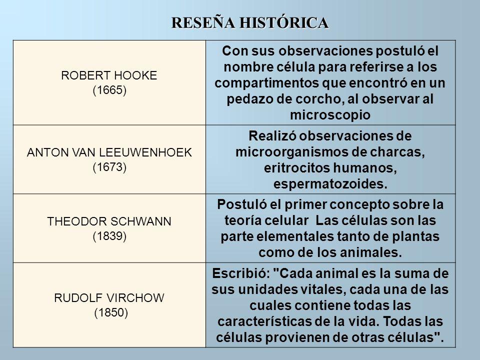 RESEÑA HISTÓRICA ROBERT HOOKE (1665) Con sus observaciones postuló el nombre célula para referirse a los compartimentos que encontró en un pedazo de c