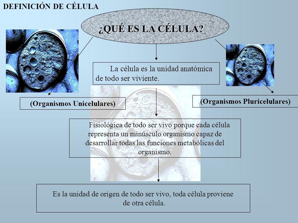 ¿QUÉ ES LA CÉLULA? La célula es la unidad anatómica de todo ser viviente. Es la unidad de origen de todo ser vivo, toda célula proviene de otra célula
