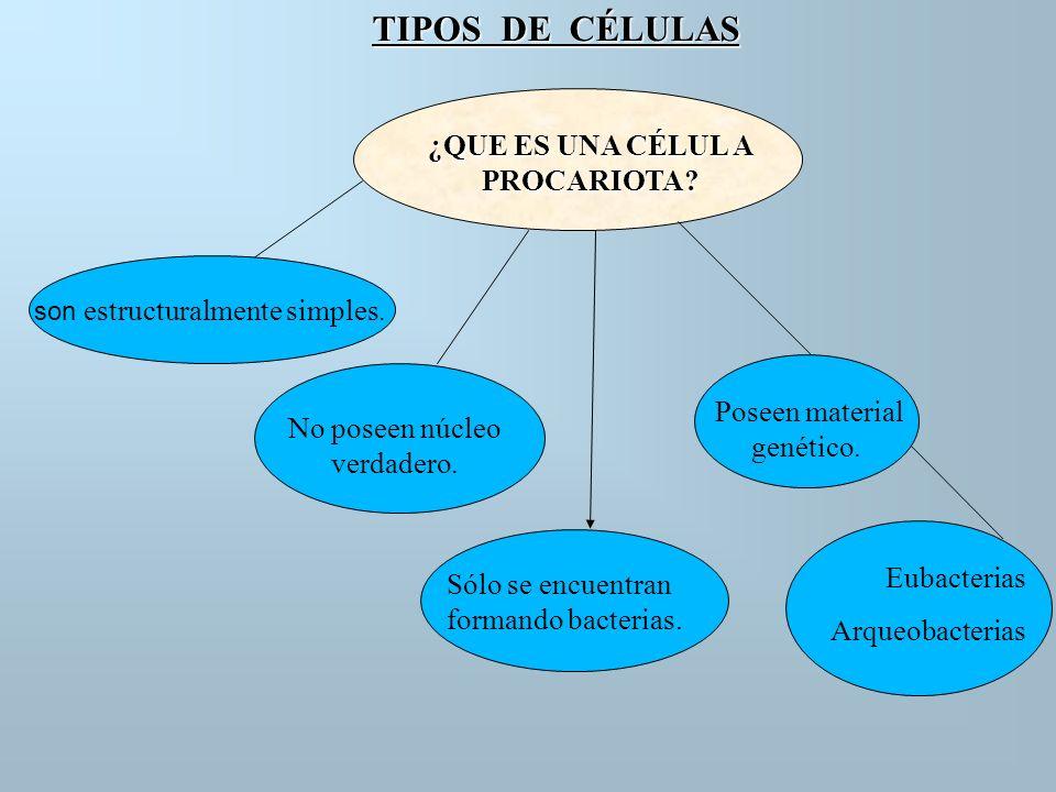 TIPOS DE CÉLULAS ¿QUE ES UNA CÉLUL A PROCARIOTA? son estructuralmente simples. No poseen núcleo verdadero. Sólo se encuentran formando bacterias. Pose