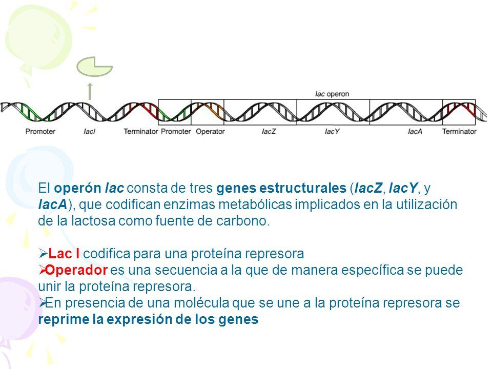El operón lac consta de tres genes estructurales (lacZ, lacY, y lacA), que codifican enzimas metabólicas implicados en la utilización de la lactosa co