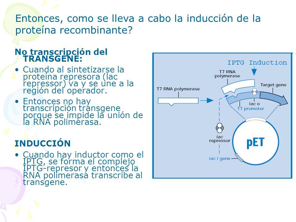 No transcripción del TRANSGENE: Cuando al sintetizarse la proteína represora (lac repressor) va y se une a la región del operador. Entonces no hay tra