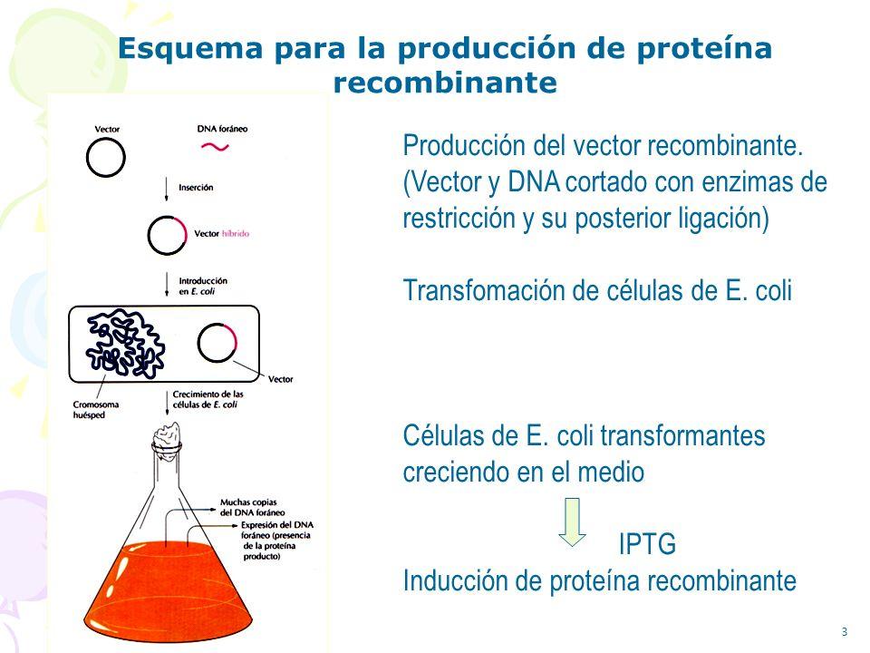 3 Producción del vector recombinante. (Vector y DNA cortado con enzimas de restricción y su posterior ligación) Transfomación de células de E. coli Cé