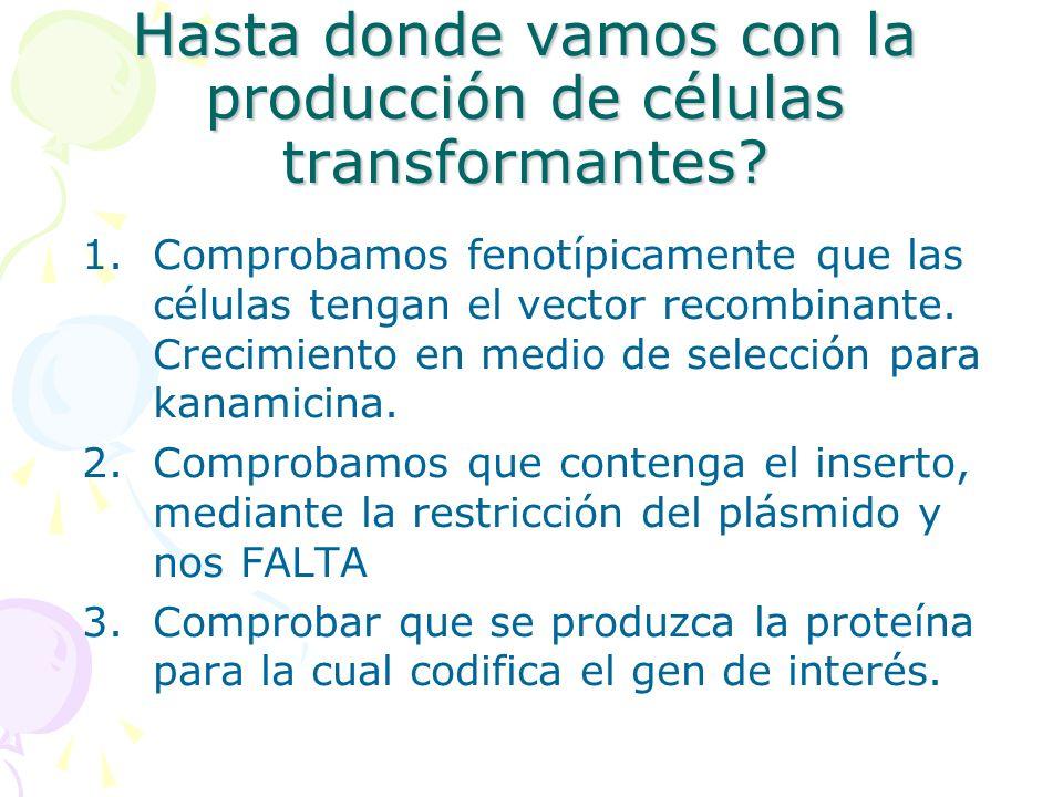Hasta donde vamos con la producción de células transformantes? 1.Comprobamos fenotípicamente que las células tengan el vector recombinante. Crecimient