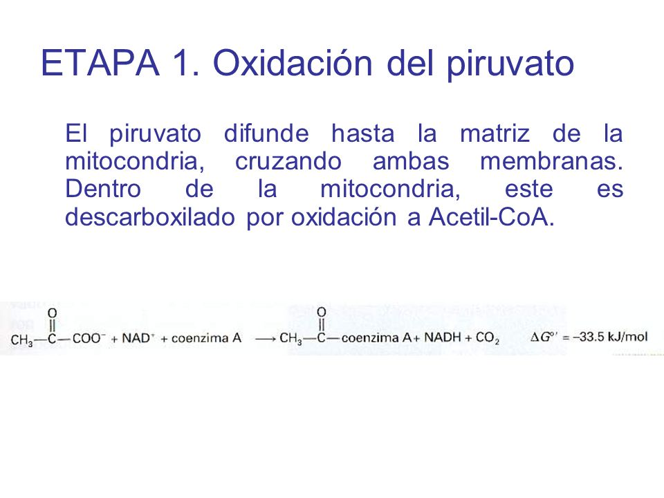 El piruvato difunde hasta la matriz de la mitocondria, cruzando ambas membranas. Dentro de la mitocondria, este es descarboxilado por oxidación a Acet