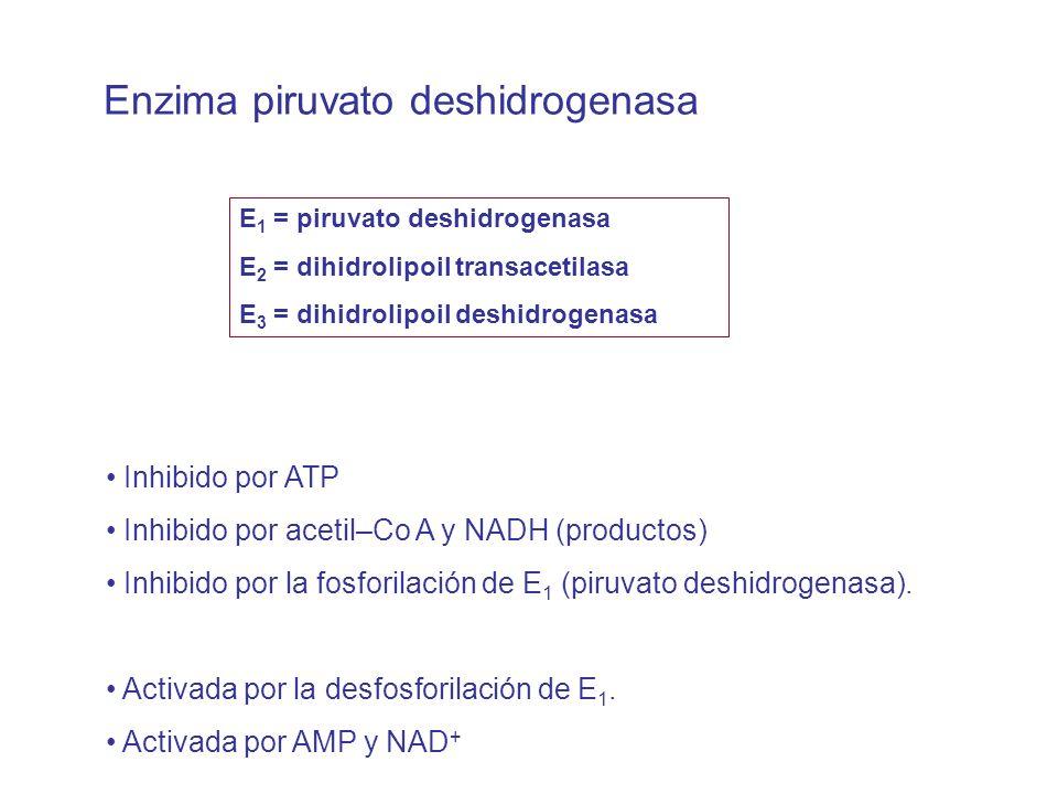 Enzima piruvato deshidrogenasa E 1 = piruvato deshidrogenasa E 2 = dihidrolipoil transacetilasa E 3 = dihidrolipoil deshidrogenasa Inhibido por ATP Inhibido por acetil–Co A y NADH (productos) Inhibido por la fosforilación de E 1 (piruvato deshidrogenasa).