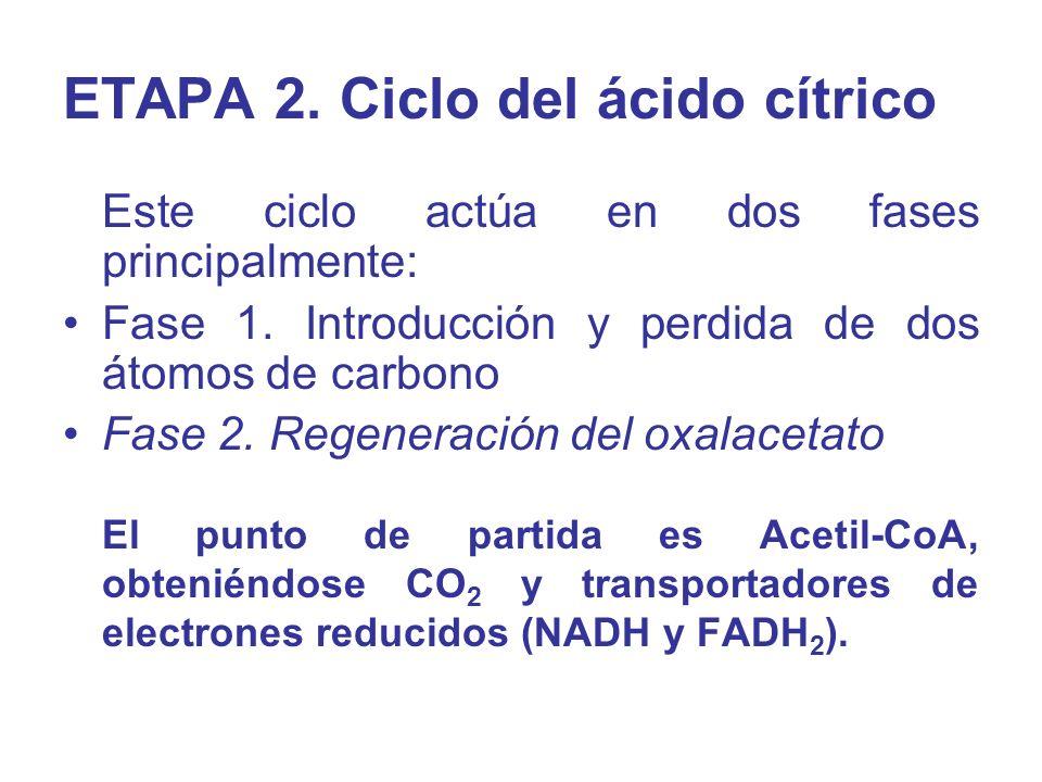 Este ciclo actúa en dos fases principalmente: Fase 1. Introducción y perdida de dos átomos de carbono Fase 2. Regeneración del oxalacetato El punto de