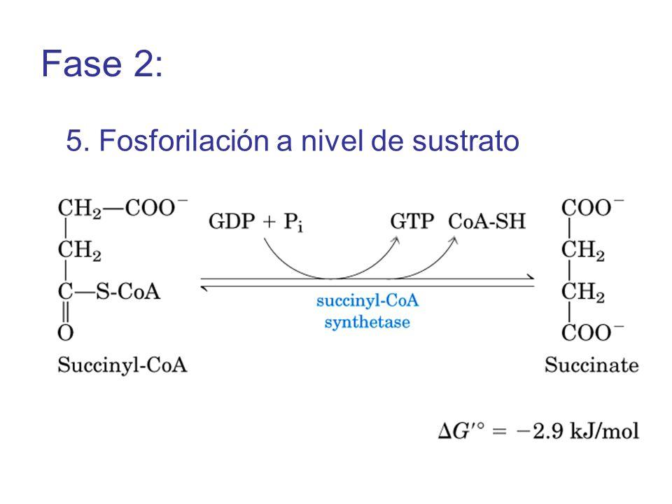 5. Fosforilación a nivel de sustrato Fase 2: