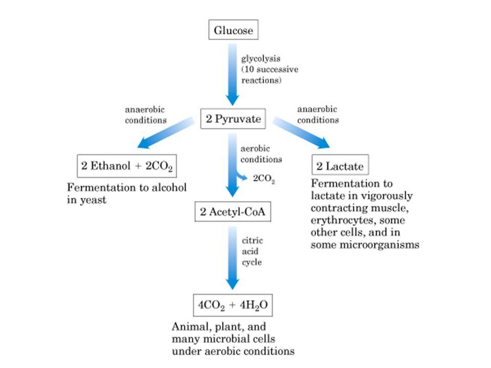 El piruvato tiene numerosos destinos alternativos en los microorganismos anaerobios: Fermentación del ácido láctico y Fermentación alcohólica levadura 1.- Microorganismos anaerobios