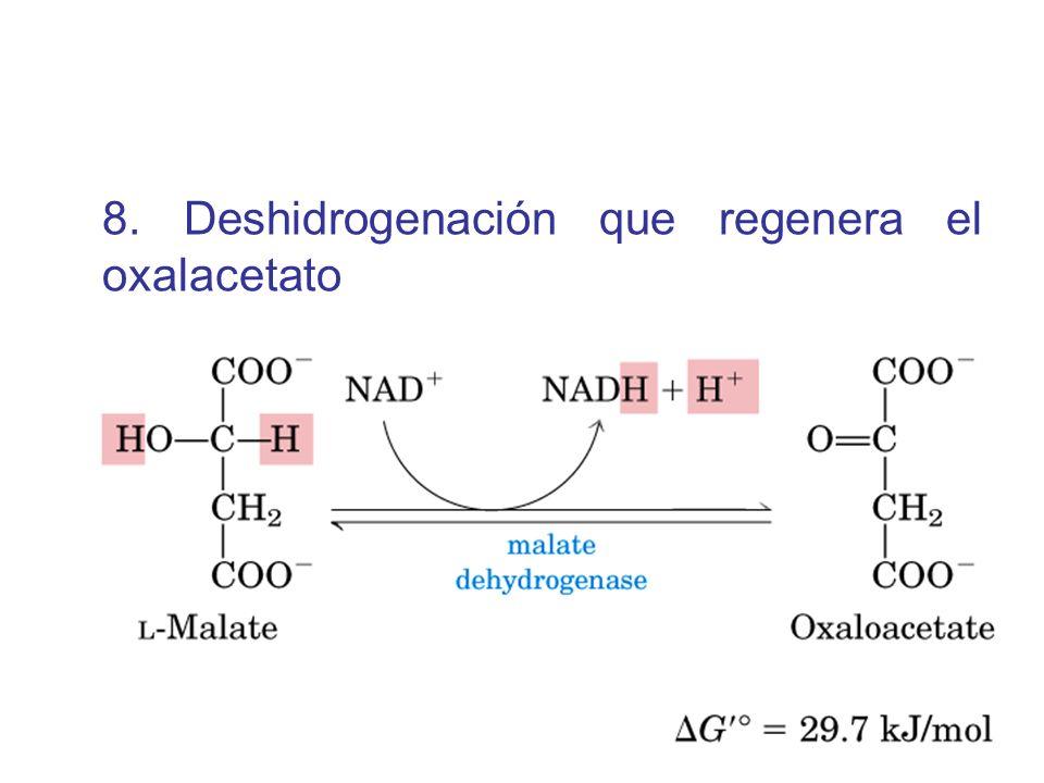8. Deshidrogenación que regenera el oxalacetato