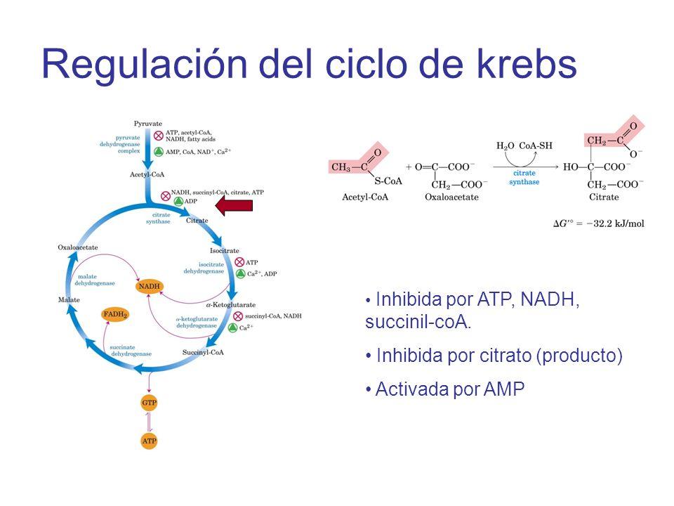 Regulación del ciclo de krebs Inhibida por ATP, NADH, succinil-coA. Inhibida por citrato (producto) Activada por AMP