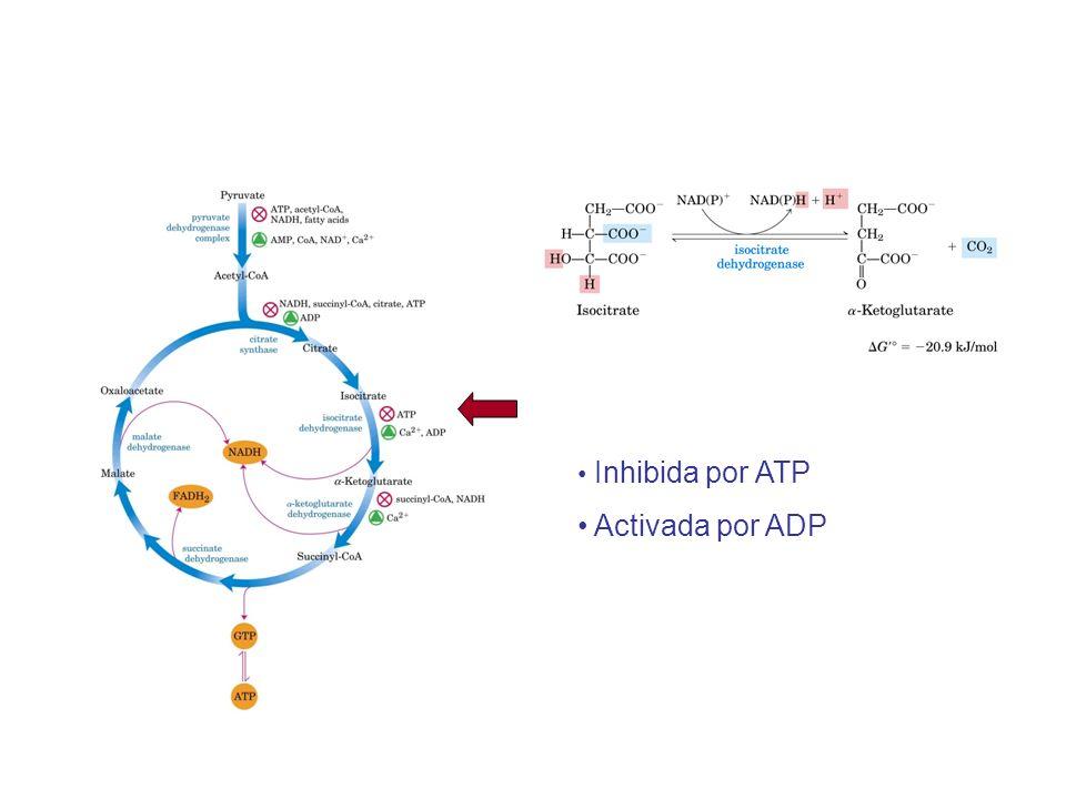 Inhibida por ATP Activada por ADP