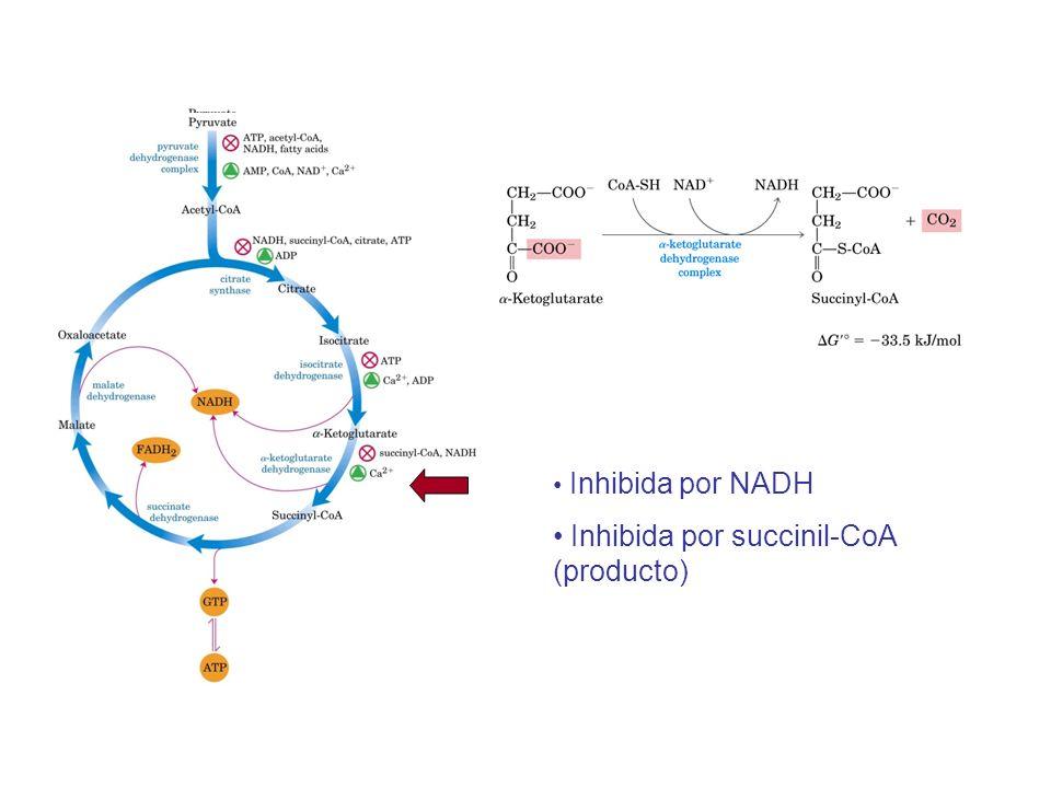 Inhibida por NADH Inhibida por succinil-CoA (producto)